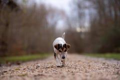 Jack Russell Terrier-de hond neemt in de herfst door op een brede weg het bos royalty-vrije stock afbeelding