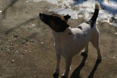 Jack Russell Terrier, der auf sich stolz sich fühlt stockbild