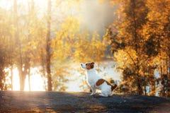 Jack Russell Terrier, der in den vorderen Blicken sitzt Lizenzfreie Stockbilder