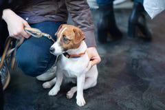 Jack Russell Terrier an der Hundeshow, lizenzfreie stockfotografie