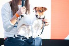 Jack Russell Terrier an der Hundeshow, eine Ausstellung stockfotos