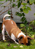 Jack Russell Terrier digging in the yard. Brown and white Jack Russell Terrier digging a hole in the yard royalty free stock photo