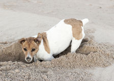 Jack Russell terrier digs hole in sand. A brown and white Jack Russell terrier digs a hole in sand stock image
