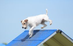 Jack Russell Terrier at Dog Agility Trial Royalty Free Stock Photography