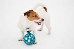Jack Russell Terrier dog with a ball. Winter portrait of a pet Stock Photos