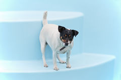 Jack Russell Terrier dog on beach in swimmingpool. Stock Images