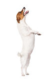 Jack russell terrier dog begging on white Royalty Free Stock Photos
