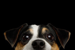 Jack Russell Terrier Dog on Black background royalty free stock images