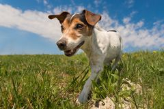 Jack Russell Terrier dog in blooming spring meadow in front of blue sky royalty free stock images
