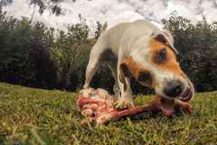Jack Russell Terrier Dog Chewing A Big Bone Stock Photos