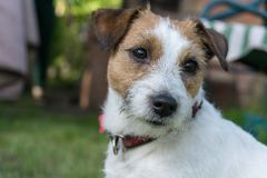 Jack Russell Terrier dog close-up, summer, outdoor. stock photos