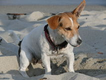 Jack Russell Terrier dog Stock Images