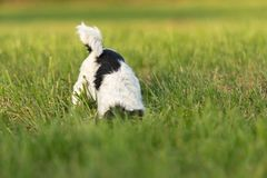 Jack Russell Terrier dog is digging a hole in the meadow royalty free stock images