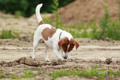 The Jack Russell Terrier dog Royalty Free Stock Photo