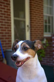 Jack Russell Terrier Dog Royalty Free Stock Image