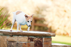 Jack russell terrier dog on the edge of a swimming pool with cop Royalty Free Stock Images