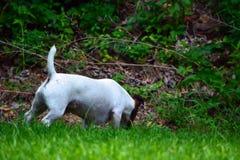 Jack Russell Terrier Dog en yarda fotos de archivo
