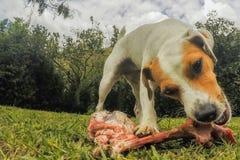 Jack Russell Terrier Dog Exited By hans stora ben Fotografering för Bildbyråer