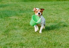 Friendly dog fetches a bucket at green grass garden lawn. Jack Russell Terrier dog fetching green empty bucket stock images
