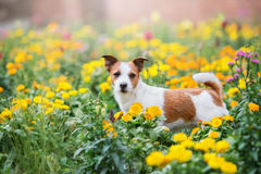 Jack russell terrier dog in a flower field Royalty Free Stock Image