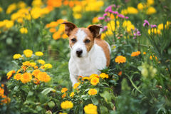 Jack russell terrier dog in a flower field Royalty Free Stock Photos