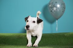 Jack russell terrier dog with happy birthday balloon on turquoise background. With green gras under stock image