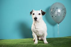 Jack russell terrier dog with happy birthday balloon on turquoise background. With green gras under royalty free stock images