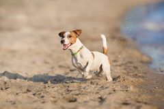 Jack russell terrier dog. Running on a beach of sea and play stock photo