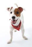 Jack Russell Terrier dog joyful Royalty Free Stock Photos