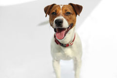 Jack Russell Terrier dog joyful. Portrait of a happy terrier in a red collar on a white background Stock Photo
