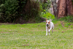 Jack Russell Terrier Dog Jumping On A Field Stock Photography