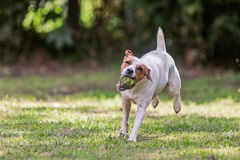 Jack Russell Terrier Dog Jumping On Meadow Stock Photography
