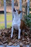Jack Russell Terrier Dog Jumps pour un festin Image libre de droits