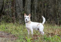 Jack Russell Terrier Dog on leash. Male not neutered white and tan Jack Russell Terrier dog outdoors in meadow on leash. Some hair loss from skin condition; flea Royalty Free Stock Image