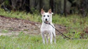 Jack Russell Terrier Dog on leash. Male not neutered white and tan Jack Russell Terrier dog outdoors in meadow on leash. Some hair loss from skin condition; flea Stock Photos