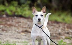 Jack Russell Terrier Dog on leash. Male not neutered white and tan Jack Russell Terrier dog outdoors in meadow on leash. Some hair loss from skin condition; flea Stock Image