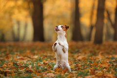 Jack Russell Terrier dog with leaves. gold and red color, walk in the park Royalty Free Stock Photography