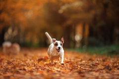 Jack Russell Terrier dog with leaves. gold and red color, walk in the park Stock Photos