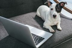 Jack russell terrier dog lying on armchair. With laptop stock image