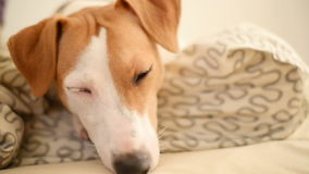 Jack Russell Terrier dog lying and falls asleep stock footage