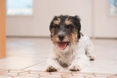 Jack Russell Terrier dog is lying on the floor in front of a white door and is is waiting for a walk stock photos
