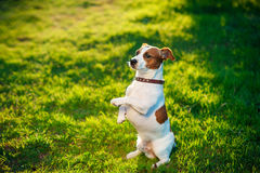 Jack Russell terrier dog is lying on a grass Stock Photos