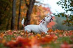 Jack Russell Terrier Dog Lying heureux sur l'herbe feuilles d'automne à l'arrière-plan images stock