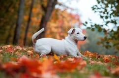 Jack Russell Terrier Dog Lying heureux sur l'herbe feuilles d'automne à l'arrière-plan photo libre de droits