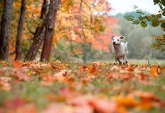 Jack Russell Terrier Dog Lying heureux sur l'herbe feuilles d'automne à l'arrière-plan photos libres de droits