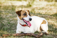 Jack Russell Terrier dog lying with a wooden stick on the grass in a summer park Stock Image