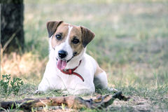 Jack Russell Terrier dog lying with a wooden stick on the grass in a summer park. A dog looking at the camera Royalty Free Stock Images
