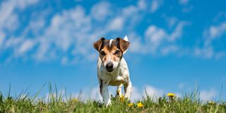 Jack Russell Terrier dog on a meadow in front of blue sky royalty free stock photo