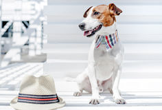 The Jack Russell Terrier with hat Stock Image