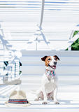 The Jack Russell Terrier with hat Royalty Free Stock Images